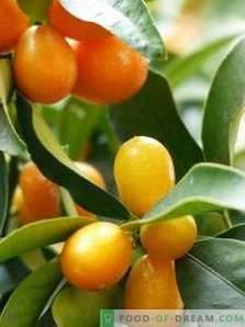 Kumquat: benefit and harm